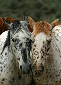 Appaloosas in black and red, face to face. Such pretty horses! Leopard Appaloosa, Appaloosa Horses, Farm Animals, Animals And Pets, Cute Animals, All The Pretty Horses, Beautiful Horses, Horse Pictures, Horse Love