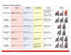 MÚSCULOS ESCÁPULOHUMERALES MÚSCULO  ORIGEN  INSERCIÓN  INERVACIÓN  ACCIÓN  Clavícula (tercio lateral). Escápula (Acromion ...