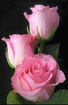 Rózsaszín álom tearózsa..