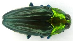 Buprestidae Beetle (Colobagaster Insect Collection, Loreto Peru Beetles)