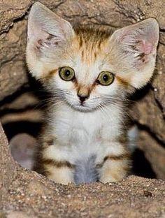 Desert sand Kitten....