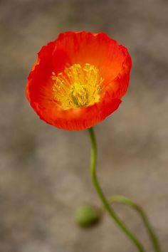 Iceland poppy, The New York Botanical Garden