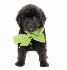 Suzie Q Green ribbon Green M Medium   Birthday7-12-16 Ready 9-8-16 ParentsSuzie Q/VinnyGender Male GenerationF2B Goldendoodle medal Prep School (No Training) $2,600 Apply now After $250 deposit.