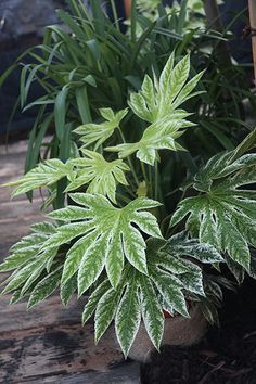Fatsia japonica 'Spider's Web' makes a wonderful specimen, particularly when planted near white-flowering plants that compliment the leaf variegations. It can also be used to help add light and colour to areas or lightly dappled shade. White Flowering Plants, Foliage Plants, Tropical Plants, Leafy Plants, Tropical Gardens, Tropical Landscaping, Garden Landscaping, Evergreen Garden, Evergreen Shrubs