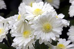 Rain and chrysanthemum flowers, South Korea