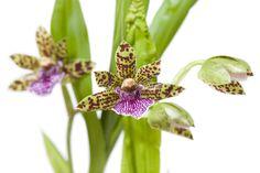 Conheçam as características e como cuidar desta orquídea com grande potencial para decorar lindos arranjos e jardins, com dicas de Anderson Santos!