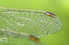 Dragon Wing by -Can-. Please Like http://fb.me/go4photos and Follow @go4fotos Thank You. :-)