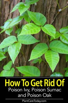 How To Get Rid Of Poison Ivy, Sumac And Oak, Using Natural And Chemical Methods. The most effective method to Do It Safely, Disposal, What To Look Out For Learn Poison Ivy Spray, Poison Ivy Vine, Poison Oak Plant, Poison Ivy Plants, Poison Ivy Oak Sumac, Poison Ivy Killer, Cure For Poison Ivy, Kill Poison Ivy Naturally, Poison Ivy Remedies