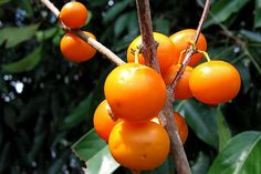 Natureza, Perfeição sem tamanho...: Apiranga (Mouriri apiranga) O fruto é uma baga arr...