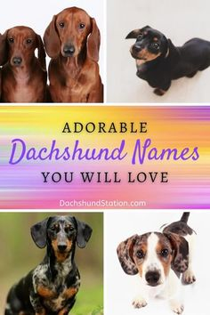 Ava Jaine | Dachshund Station Dachshund Facts, Dachshund Adoption, Funny Dachshund, Mini Dachshund, Dachshund Puppies, Dachshunds, Country Dog Names, Adoptable Dachshund Dog, Pet Dogs
