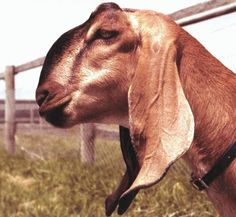 A beautiful head photo fro  the Australian Killara-Ram Anglo Nubian stud  webpage| #goatvet loves Anglo-nubians