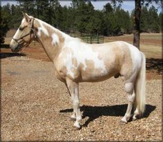 For Sale - COPY'S GOLDEN CREAM #20401207 - Gorgeous 15.2 hand, palomino tobiano Tennessee Walking Horse gelding, foaled 06/16/2004. Double reg. as Spotted Saddle Horse. A very good looking gelding with wide muscular shoulders and hips and a deep athletic chest!  He has been trail ridden all over the United States. Cream is all business. What a ride!! Located in New Mexico. Priced at $6500.http://www.trailhorsesofthewest.com/horses-for-sale.htm  http://youtu.be/Iu23T1yWmz8