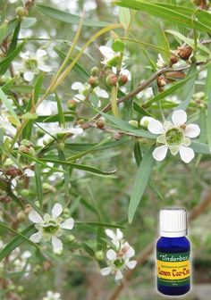 Lemon Tea Tree Essential Oil (Leptospermum petersonii) for aromatherapy, skin care and natural perfumes. Tinderbox: supplying pure essential oils since Tea Tree Essential Oil, Pure Essential Oils, Blue Glass Bottles, Clove Bud, Citronella, Tea Tree Oil, Geraniums, Aromatherapy, Peppermint