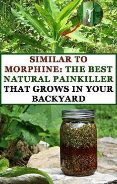Similar to Morphine The Best Natural Painkiller that Grows in Your Backyard Pinterest
