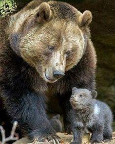 Proud Mama Photo by:©Klaus Kreuzer ➖➖➖➖➖➖➖➖➖➖➖➖➖➖➖➖ #Instagram  #beautifulday #beautifulphoto #animals #bear #cuteness #travelingram #travelers #socute #brownbear #instafollowers #instanature #proudmom #animallovers #instacute #igersoftheday #animallover #instagrammer #animalslover #instagramer #cuteanimals #natgeo #instafamous #instapic #shoutouts #beard #iger #instapicture #adorableanimals #followus
