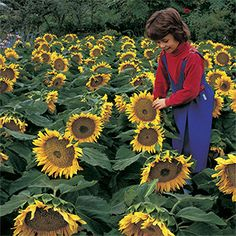"""Sunspot Sunflower Seeds these are compact with 10"""" flowers. Great for 1 per pot."""