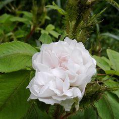 Quatre saisons blanc moussu, encore appelée Perpétuelle mousseuse ou Rose de Thionville est une rose de Damas moussue, légèrement remontante et blanche qui a marqué l'histoire de la rose. Elle fleurit en larges bouquets très parfumés. Buisson de 1,20 m. Damas, obtenteur inconnu, avant 1830.