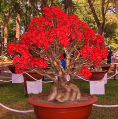 Prize Winning Vietnamese Bonsai Tree