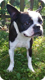 Bridgeton, MO - Boston Terrier. Meet Sulu, a dog for adoption. http://www.adoptapet.com/pet/16062697-bridgeton-missouri-boston-terrier