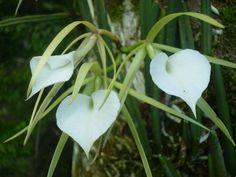 Brassavola nodosa, Orquideas de Costa Rica.