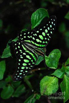 green butterfly...