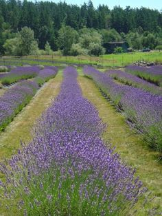 Lavendar fields, San Juan Island, Washington