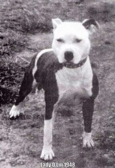 old tyme staffy