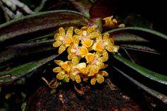 Gastrochilus species - In situ