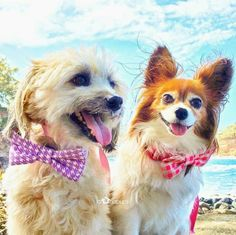 Our beautiful furfriends in Hawaii the @alohapups look as gorgeous in their HHH bow collars as they do in their bandanas!  Use the code ALOHAPUPS for 20% off at the checkout - link to etsy shop in bio  #hashtaghipsterhounds #dogaccessories #dogbowtie #bowtiecollar #dogcollar #dogcollars #handmade #etsy #etsyshop #dogfashion #pamperedpooch #hipsterhounds #dapperdogs #papillon #terrier #dogstagram #dogsofinstagram #dogsofig #petproducts #etsyseller #dogsofhawaii #aloha #hawaii #dog #pets…