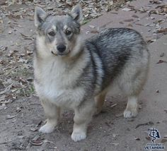 Swedish Vallhund photos