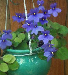 saintpaulia ionantha african violet | ... of African Violet (Saintpaulia ionantha) - (800x600 - 302kB