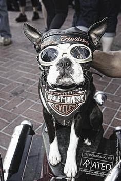 chopper the biker dog | Chopper the Biker dog | Flickr - Photo Sharing!