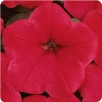 Easy Wave™ Red Spreading Petunia