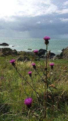 Thistle seaside Cornwall all we are Cornwall, Seaside, Mountains, Nature, Plants, Travel, Messages, Photos, Art
