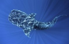 World Biodiversity Day: Indonesia reef and forests : Whale Shark in Cenderawasih Bay