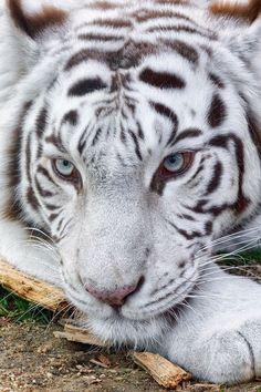 White tiger...such a beautiful animal!!! ♥ #bluedivagal, bluedivadesigns.wordpress.com