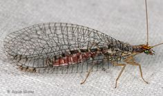 lacewing - Eremochrysa punctinervis