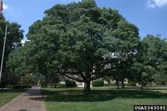 mississippi state tree | ... Photo credit: David Cappaert. Michigan State University, Bugwood.org