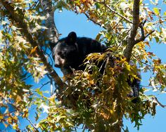 Bears are the most popular animal to see in a Smoky Mountain visit!