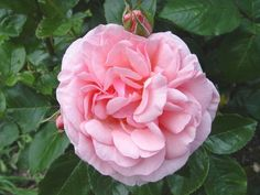 Radox Bouquet - horrible name lovely rose