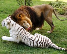 Lion Cameron and white tiger Zabu play together at the Big Cat Rescue in Tampa, Florida.  A meeting between the two predators would have been impossible in the wild as they hail from different continents. The feline duo - aptly nicknamed The Odd Couple by their caretakers at Big Cat Rescue in Florida - were rescued from a roadside zoo around eight years ago.