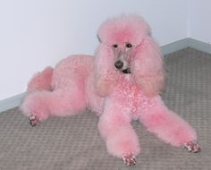 I have always wanted a giant white poodle that i can dye pink (naturally of course, nothing harmful)
