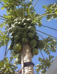 Growing a Papaya Tree from Seed - An All Creatures Photo Journal and Gallery