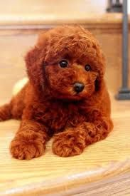 Adorable Red Standard Poodle Puppy