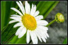 Daisy Dew By LeeAnn McLaneGoetz McLaneGoetzStudioLLC.com Bloomfield Hills,Michigan Daisy Dew and dreams of a Summer Day. #daisy, #dew