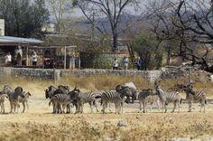 Zebras at Andersson's Camp (Etosha Pan, Namibia)
