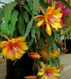 A Epiphyllum Acapulco 'Sunset' é uma espécie epífita pertencente a família botânica Cactaceae que possui belas flores de cores únicas, c...