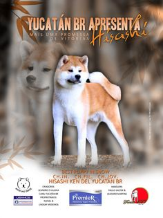 Mais uma promessa de vitórias - Hisashi Ken Del Yucatán BR - Best Puppy In Show - www.akitainubrasil.com.br
