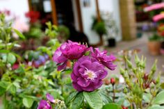 Rosa Rhapsody in Blue - Large semi double flowers of iridescent purple fading to purple slate grey as they mature with a strong scent. Rhapsody In Blue, Colorful Garden, Summer Flowers, Garden Furniture, Slate, Iridescent, Repeat, Strong, Colour