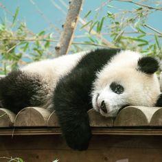 近くで見れました 次は親子2ショットで見てみたいですね #シャンシャン #パンダ #上野動物園